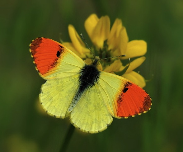 eastern_orange_tip copy