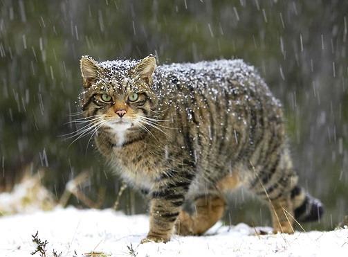 gatto-selvatico-delletna-1-1
